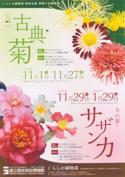 古典菊.jpg